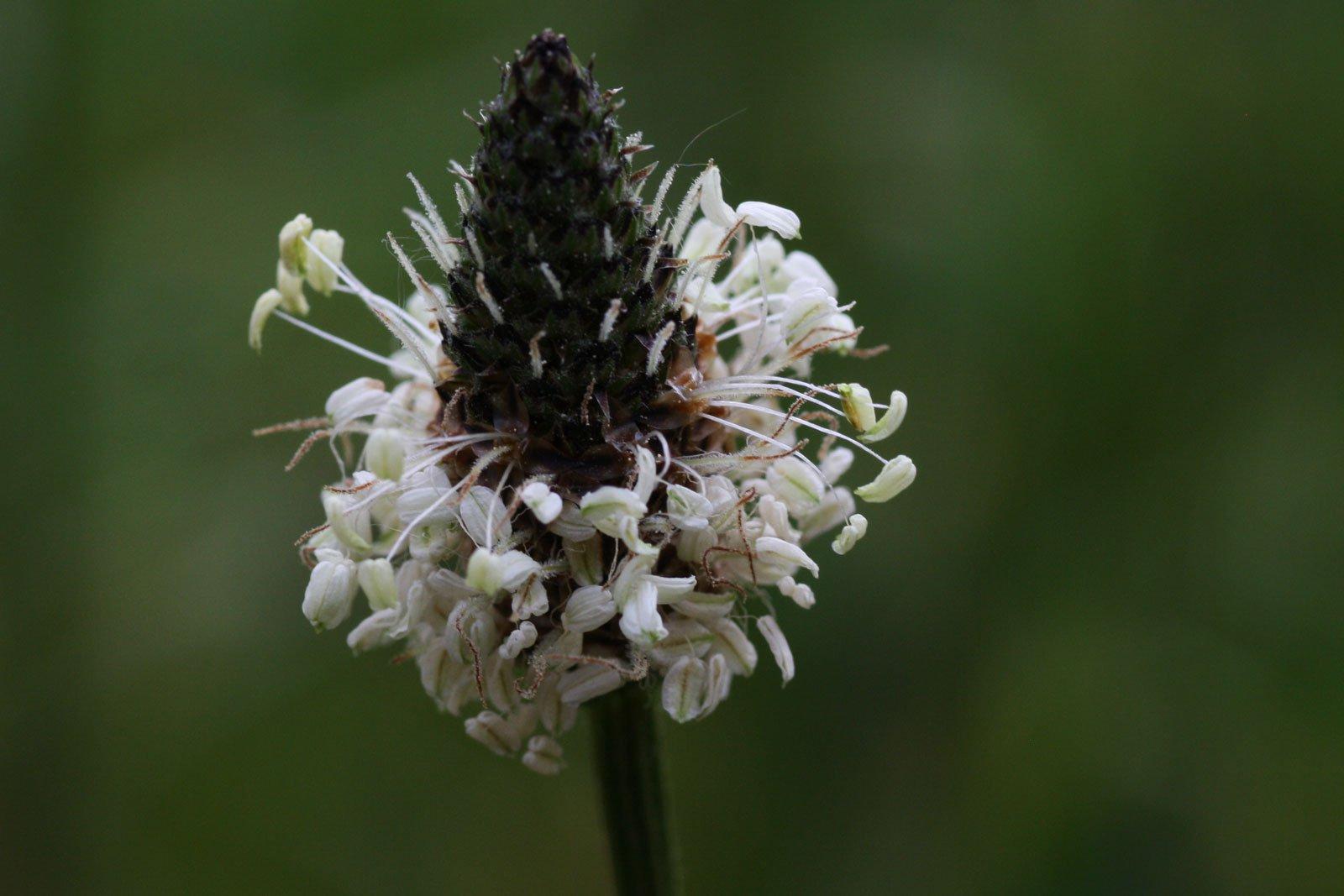 Spitzwegerich Blüte
