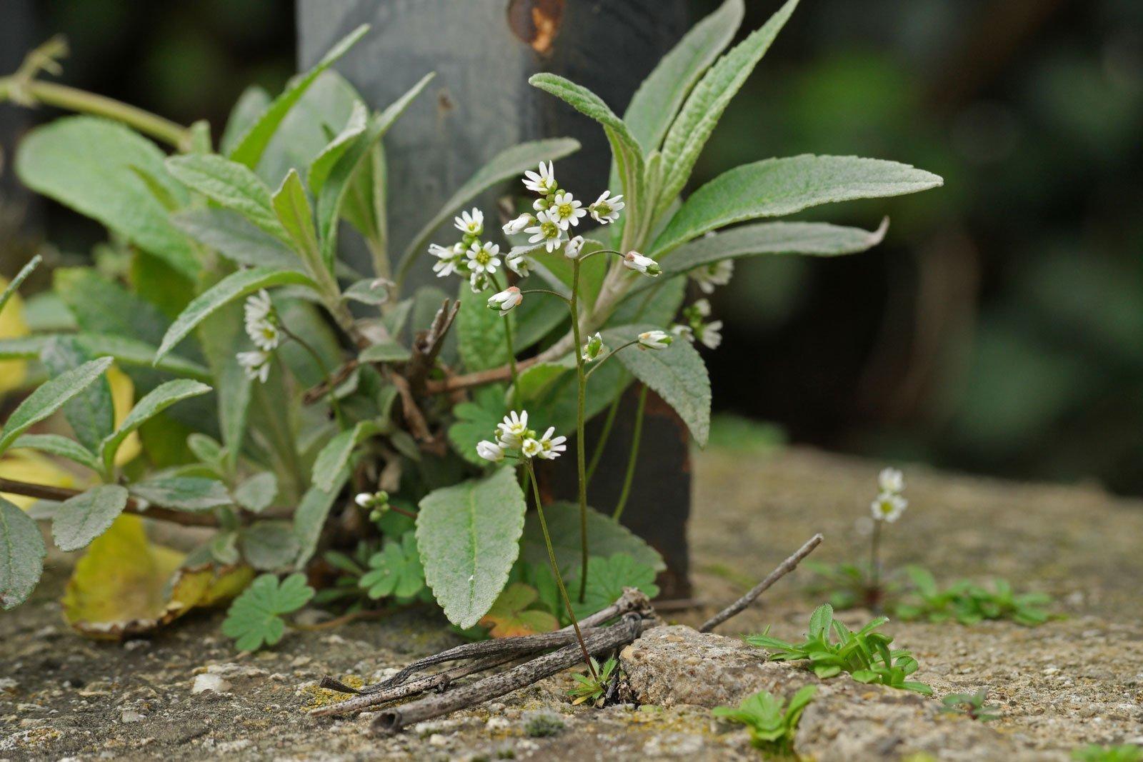 Frühlings-Hungerblümchen Schmetterlingsflieder