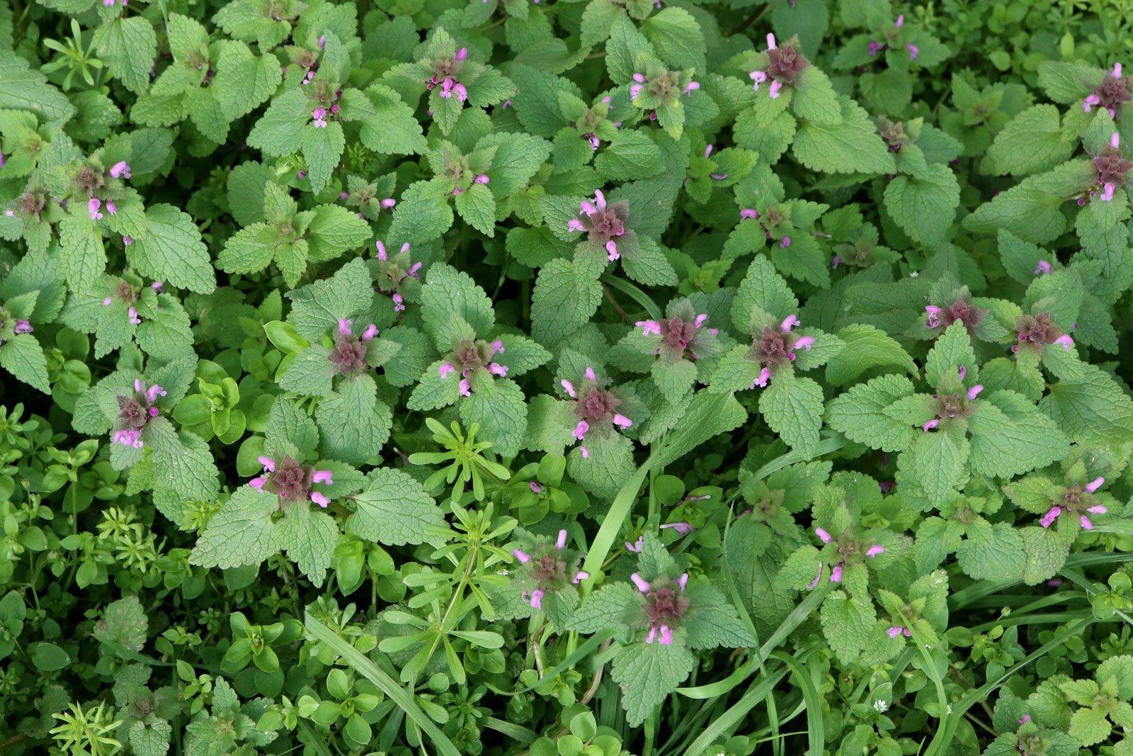 Lamium purpureum 4