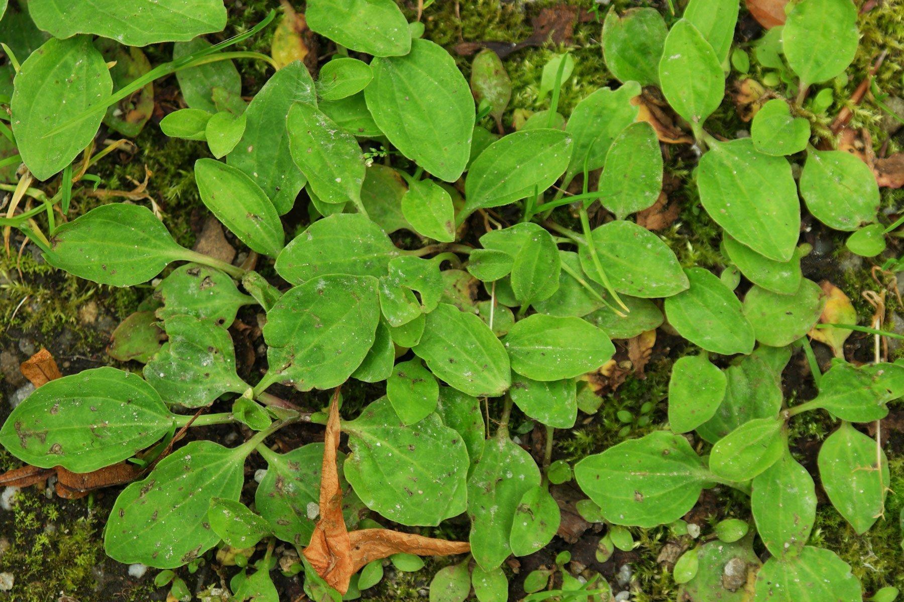 Breitwegerich junge Blätter