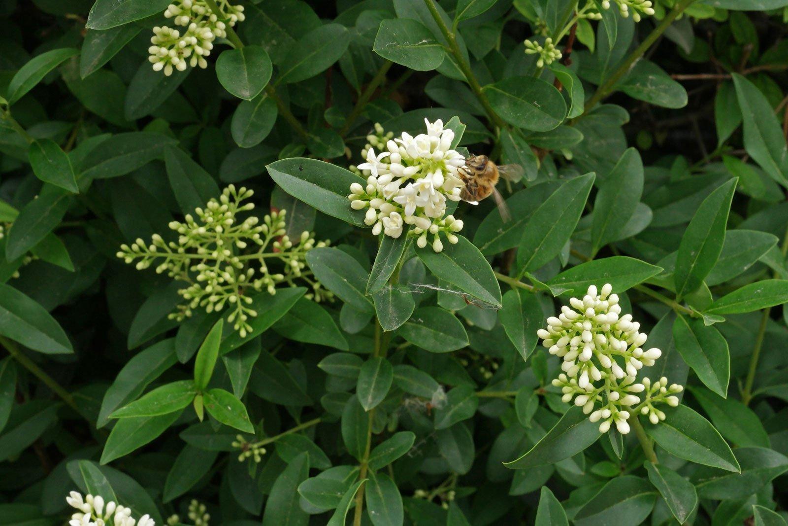 Honigbiene Liguster
