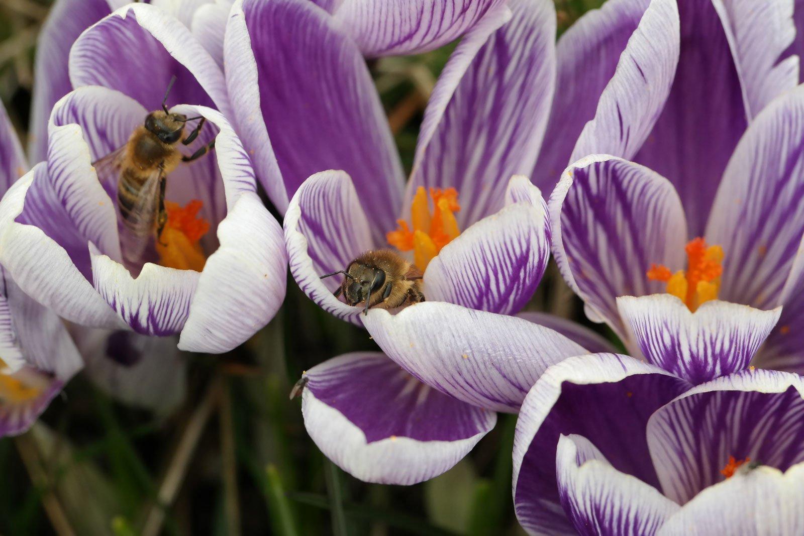 Honigbienen Fruehlings Krokus