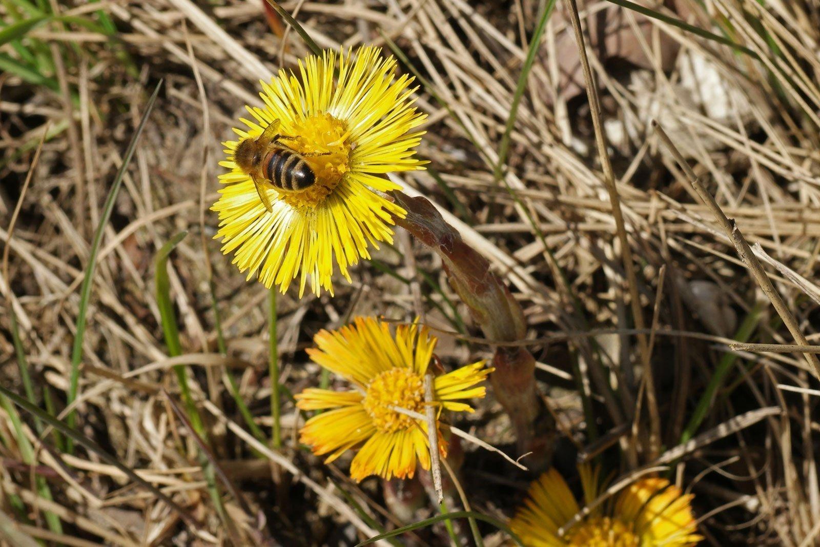 Huflattich Honigbiene
