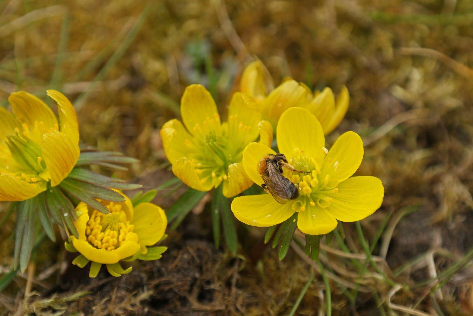Winterlinge Biene