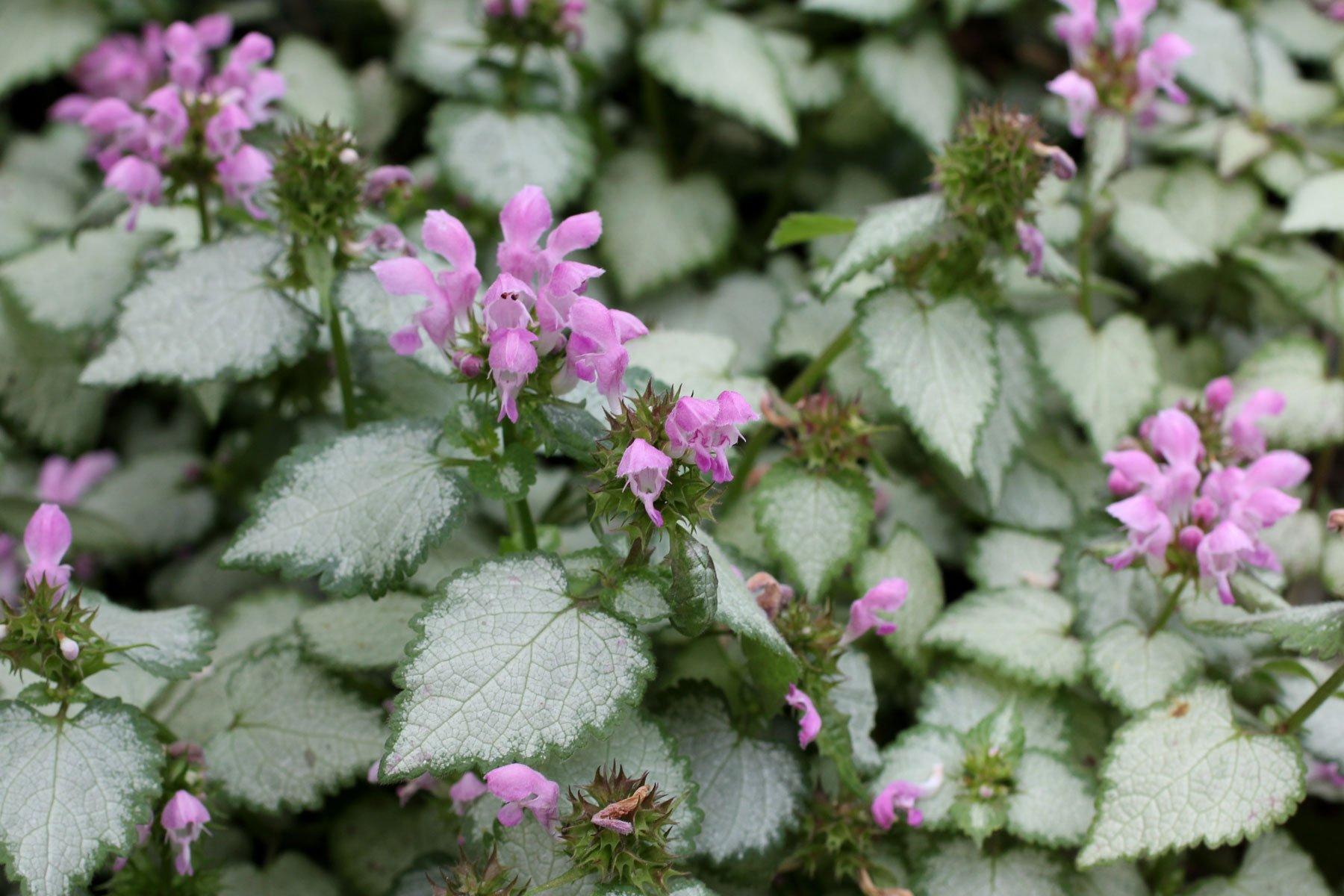 Lamium maculatum Pink Chablis