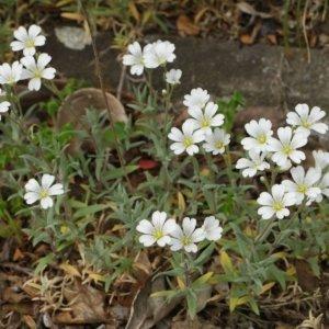 Cerastium tomentosum 1