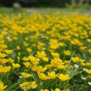 Ranunculus repens 1