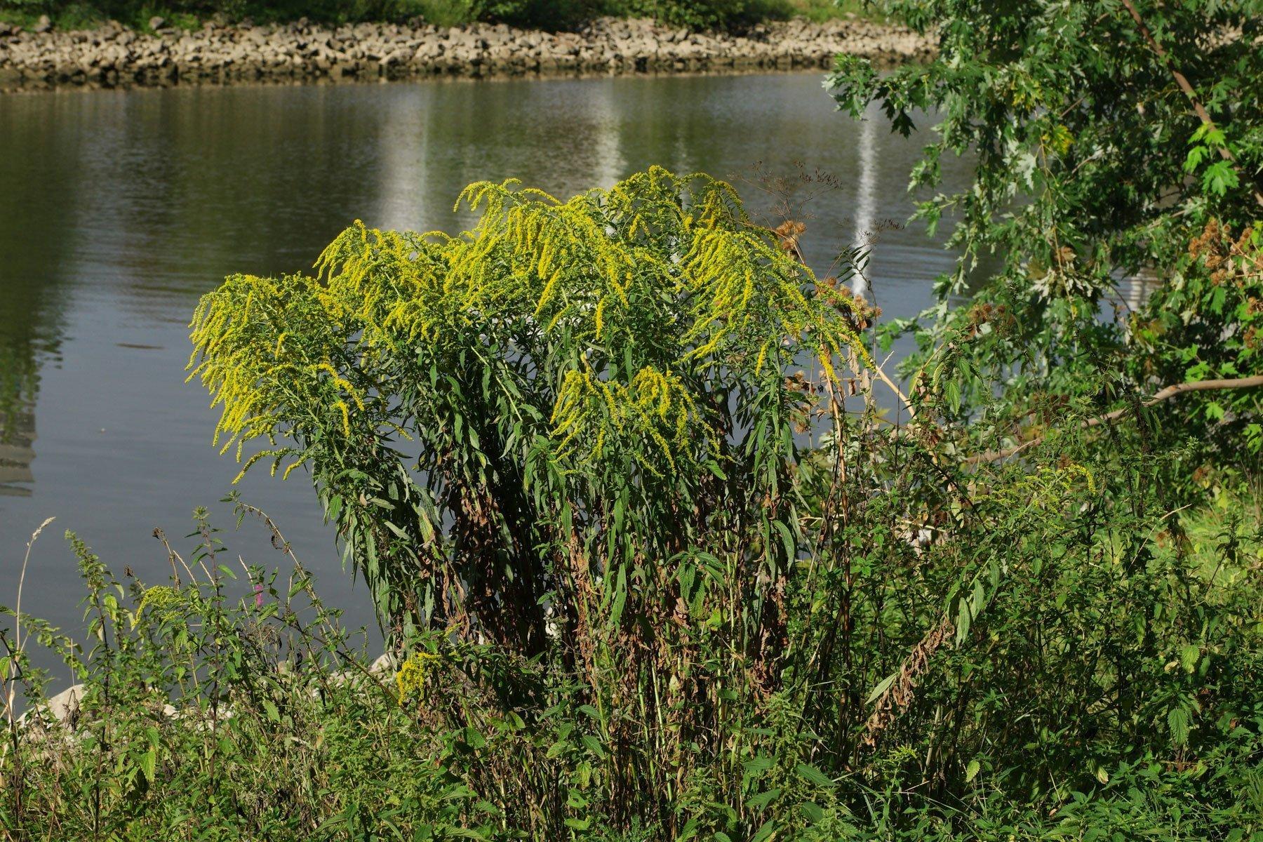 Goldrute an Fluß