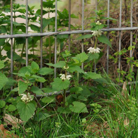 Weisse Taubnessel vor einem Zaun