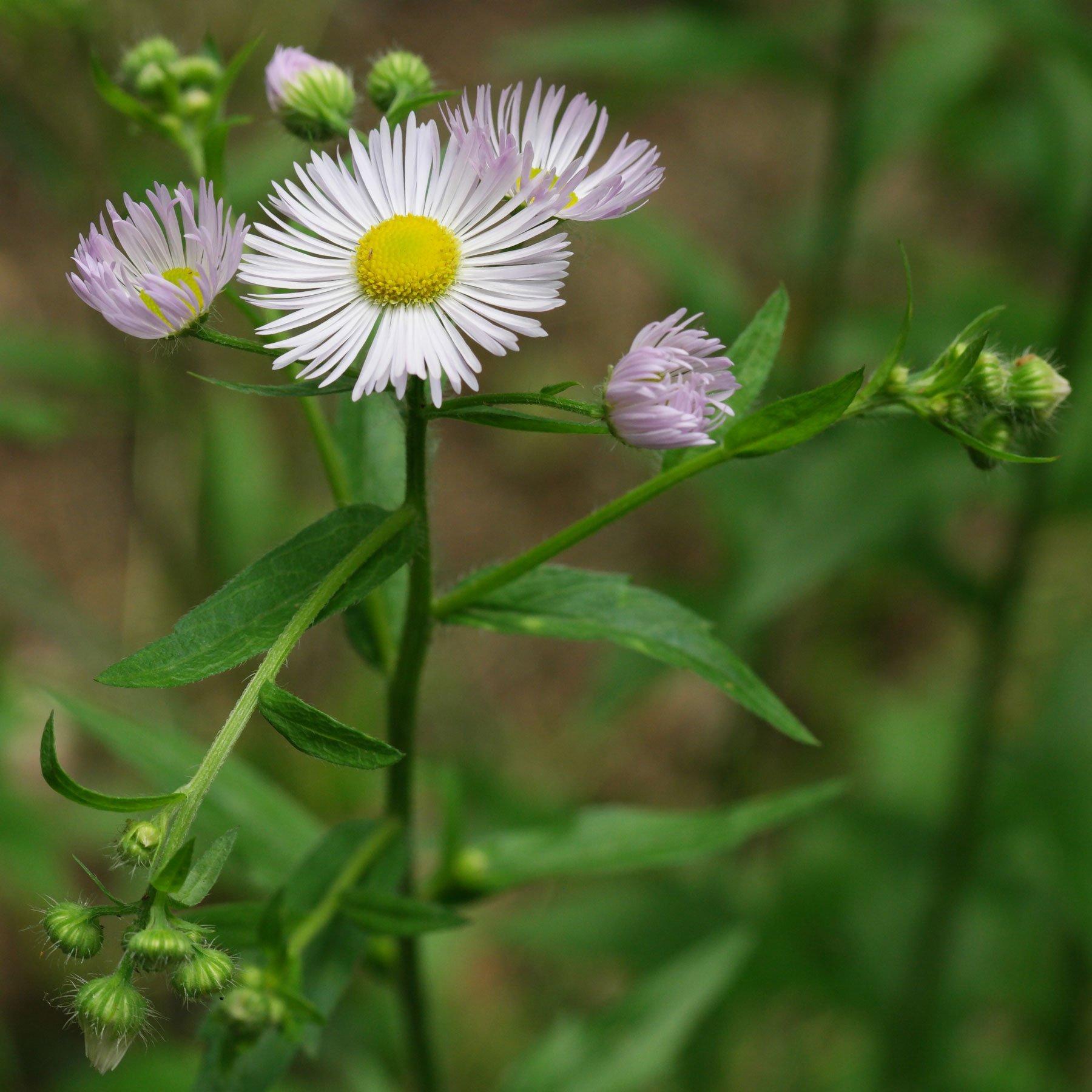 Berufkraut Blüten