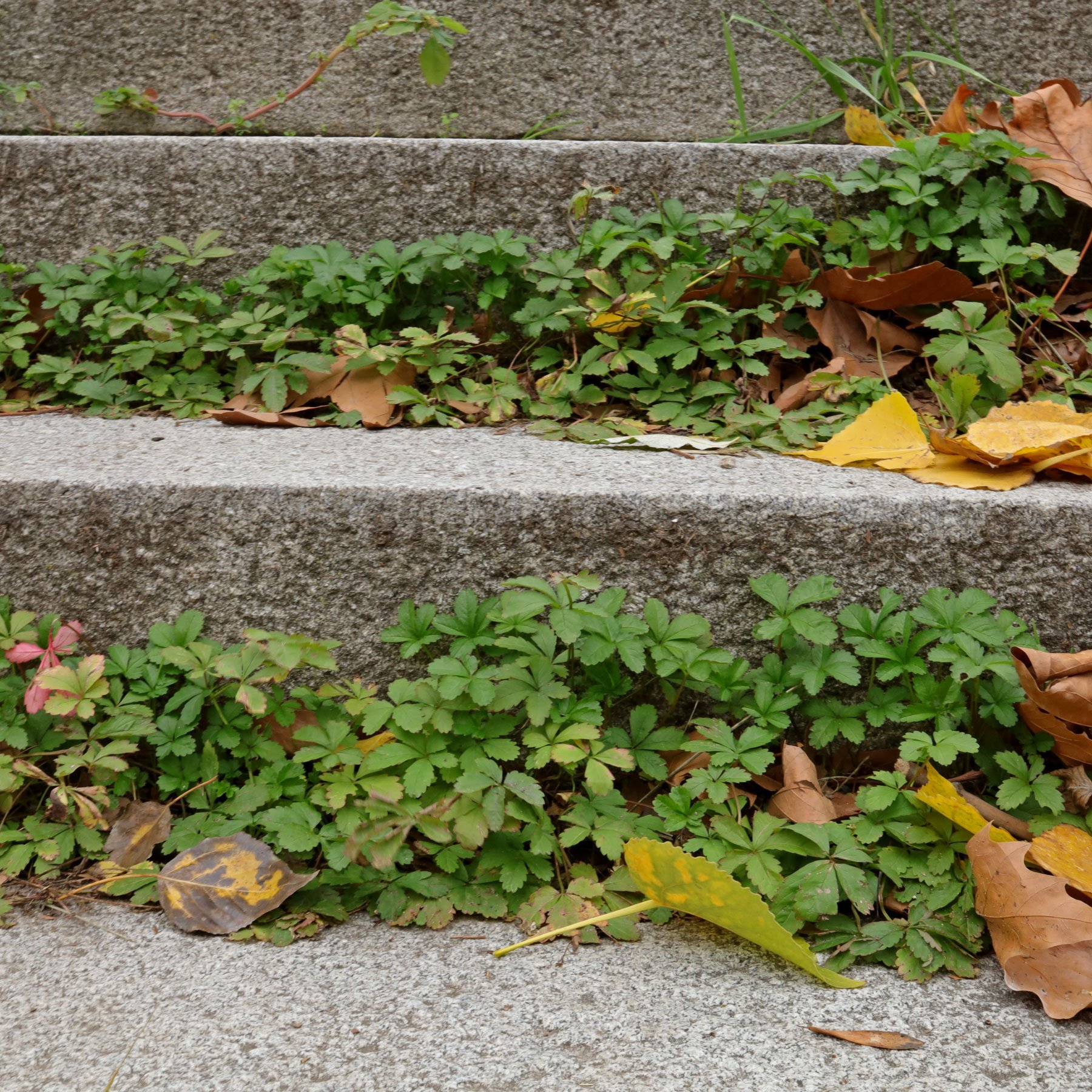 Fingerkraut auf Treppe