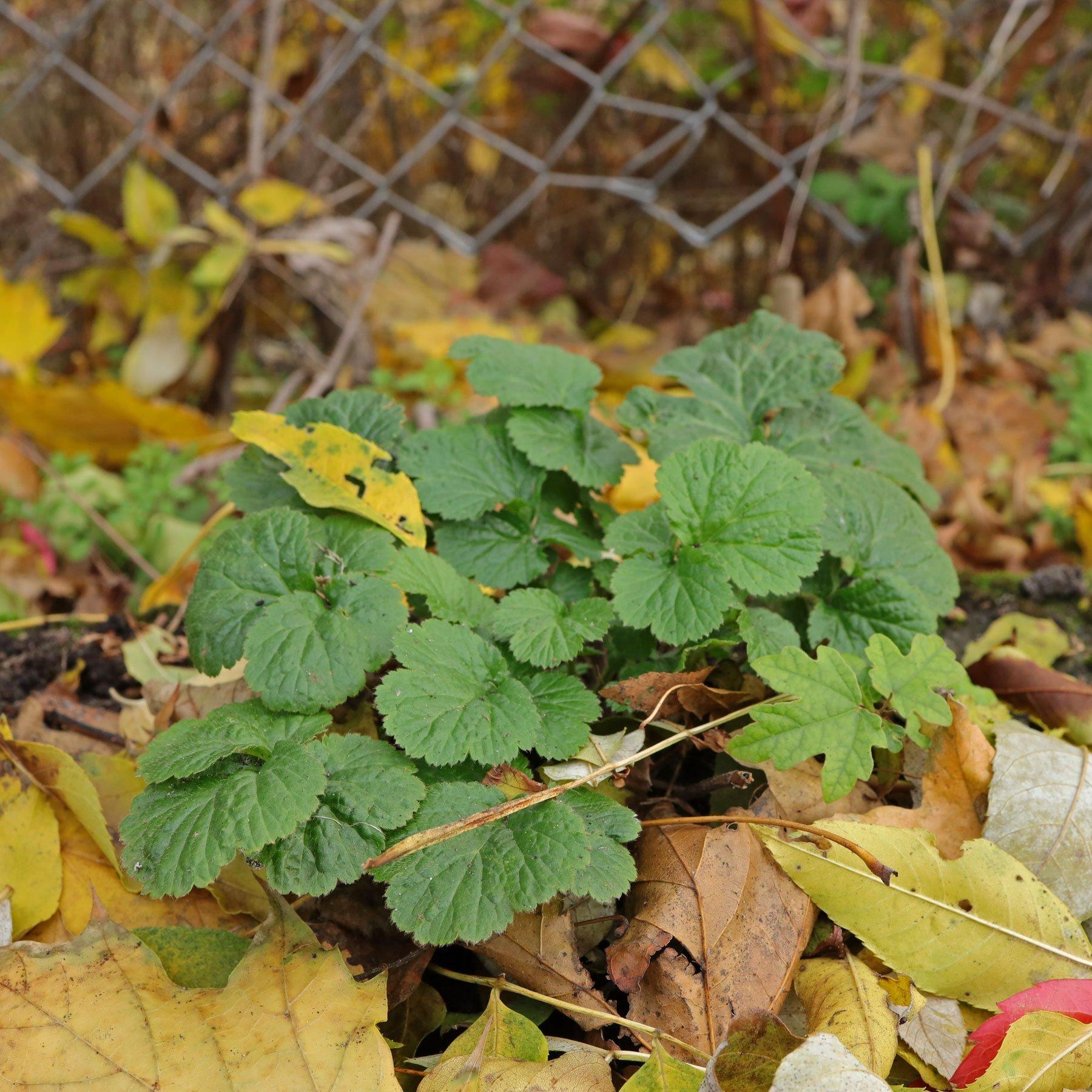 Nelkenwurz Blätter