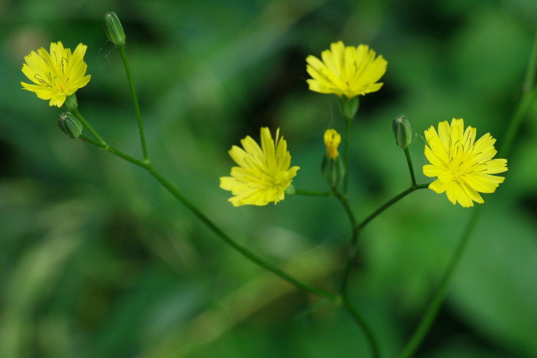 Rainkohl Blüten
