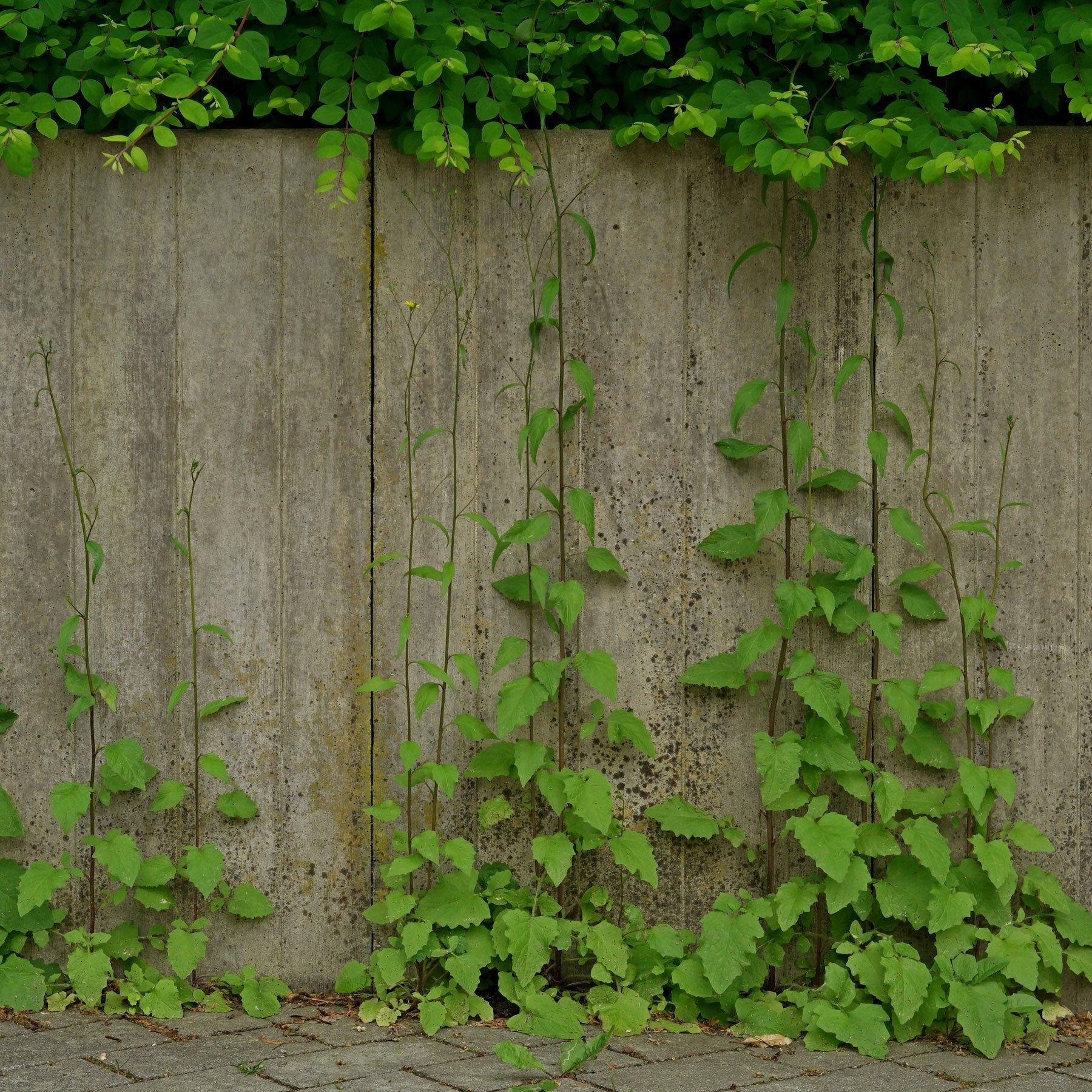 Rainkohl vor Mauer