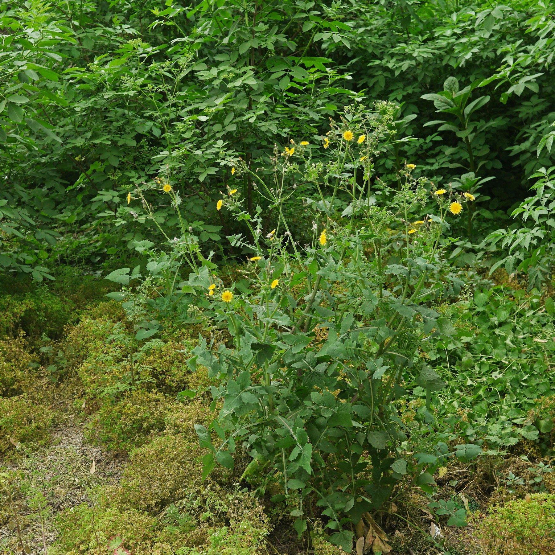 Sonchus oleraceus Ruderalstelle