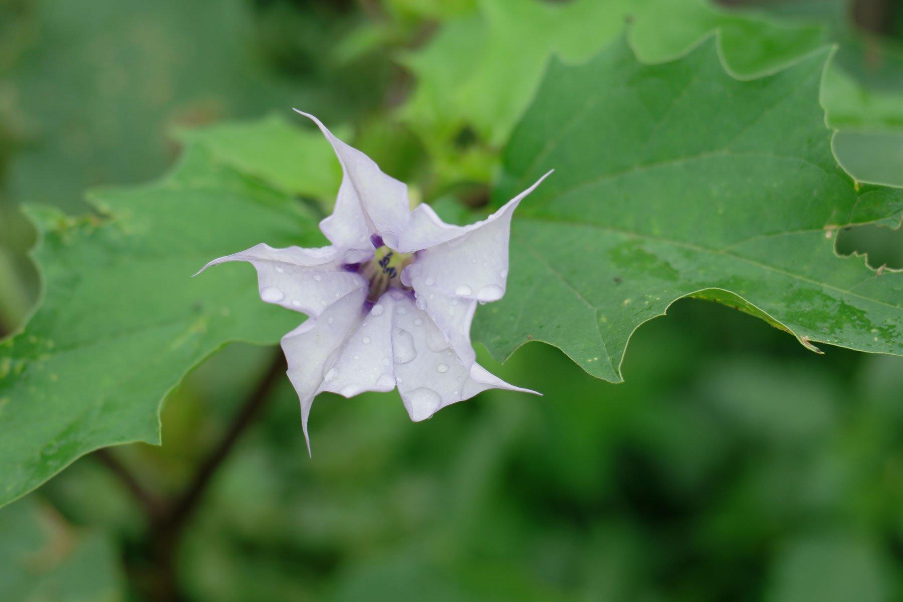 Stechapfel violett