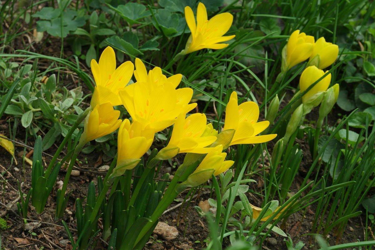 Sternbergialutea