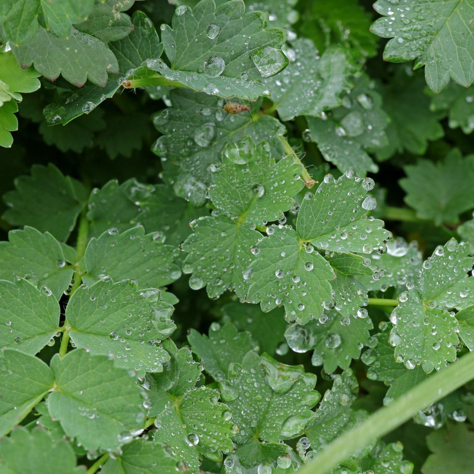 Wiesenknopf Lotoseffekt
