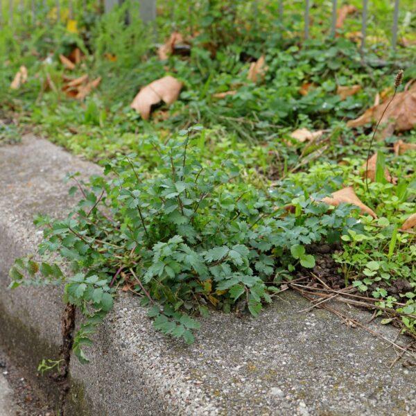 Wiesenknopf auf Randstein