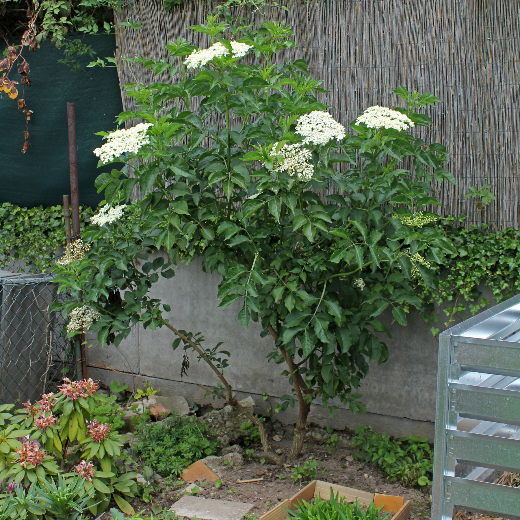 Holunder im Garten