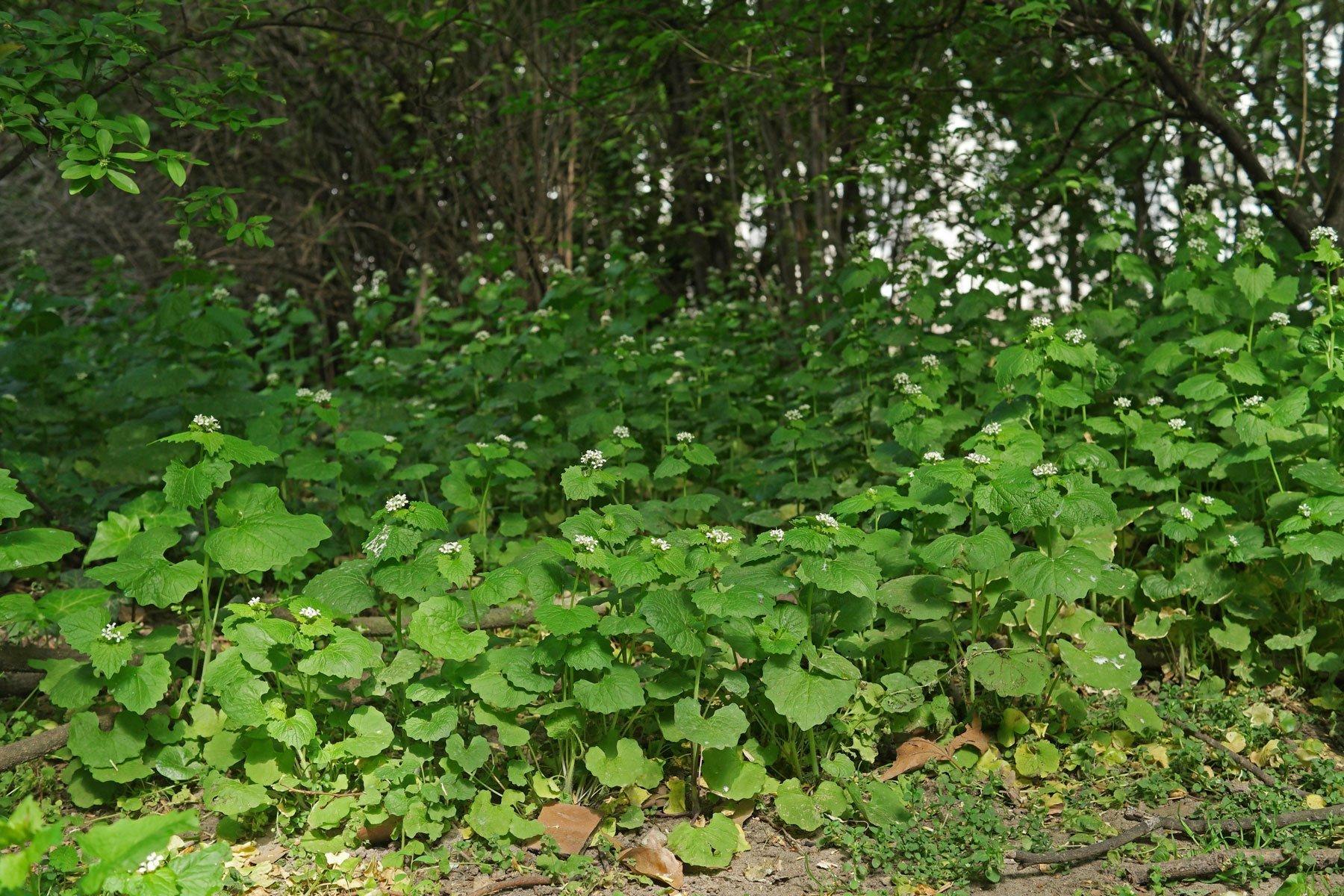 Knoblauchsrauke im Gebüsch