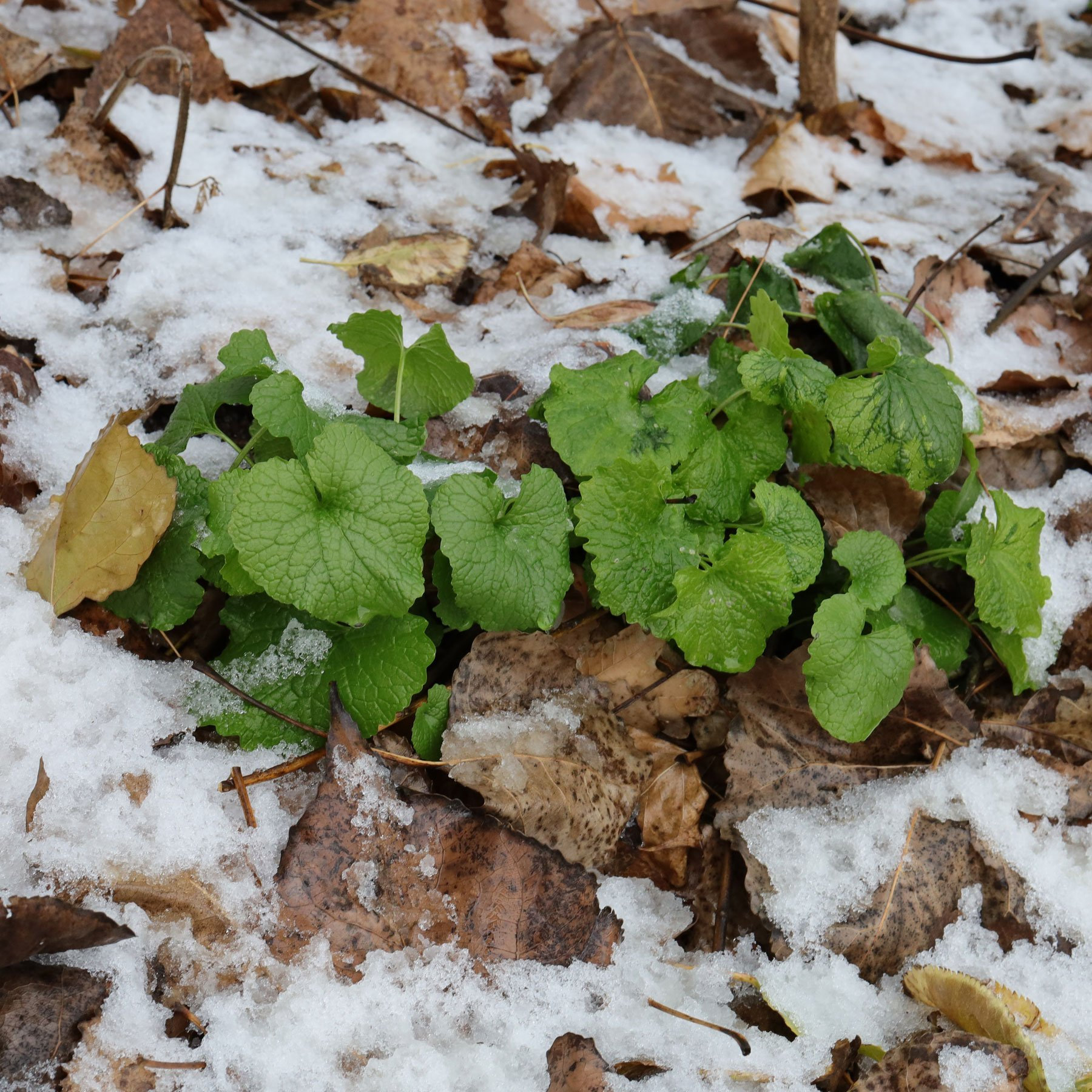 Knoblauchsrauke im Schnee