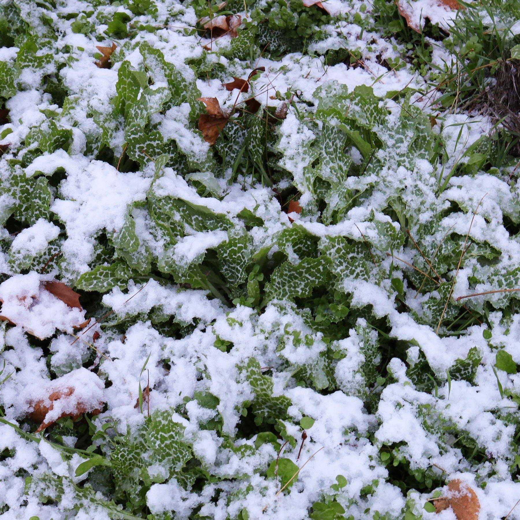 Mariendistel im Schnee