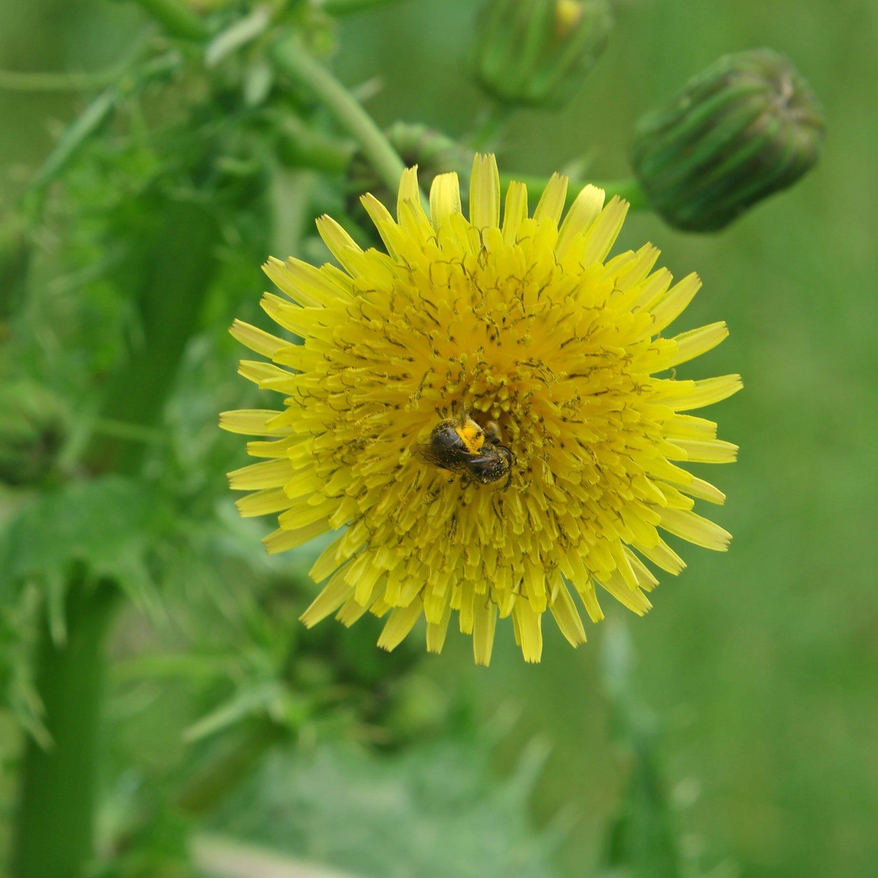 Wildbiene bestäubt Gänsedistel