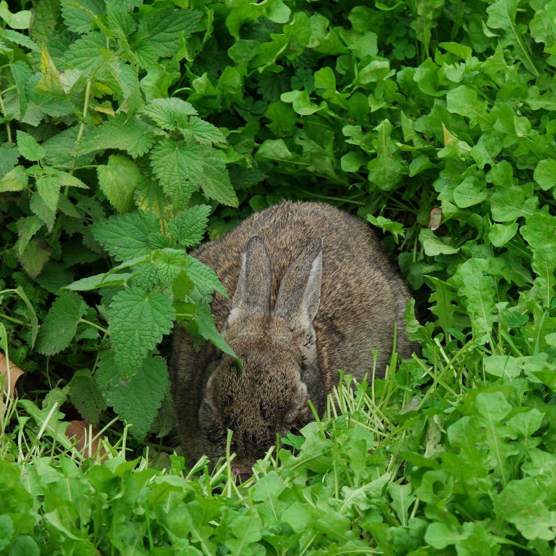 Kaninchen zwischen Brennnessel