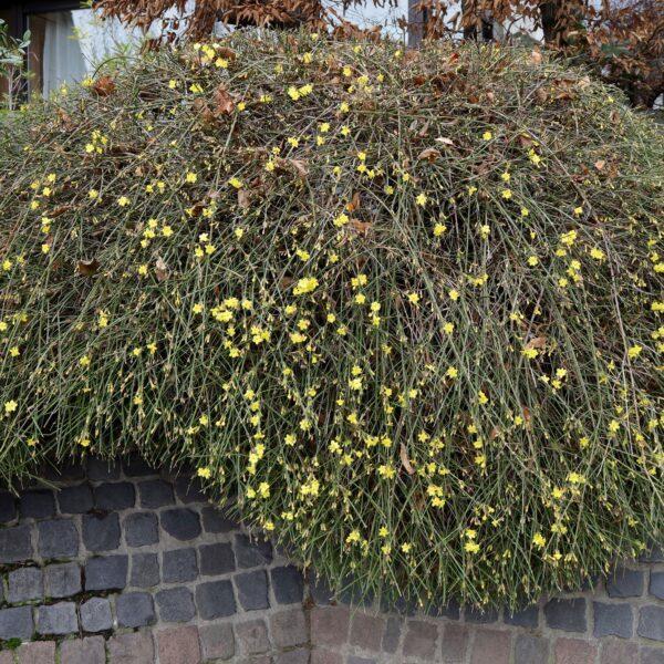 Winter-Jasmin auf Mauer