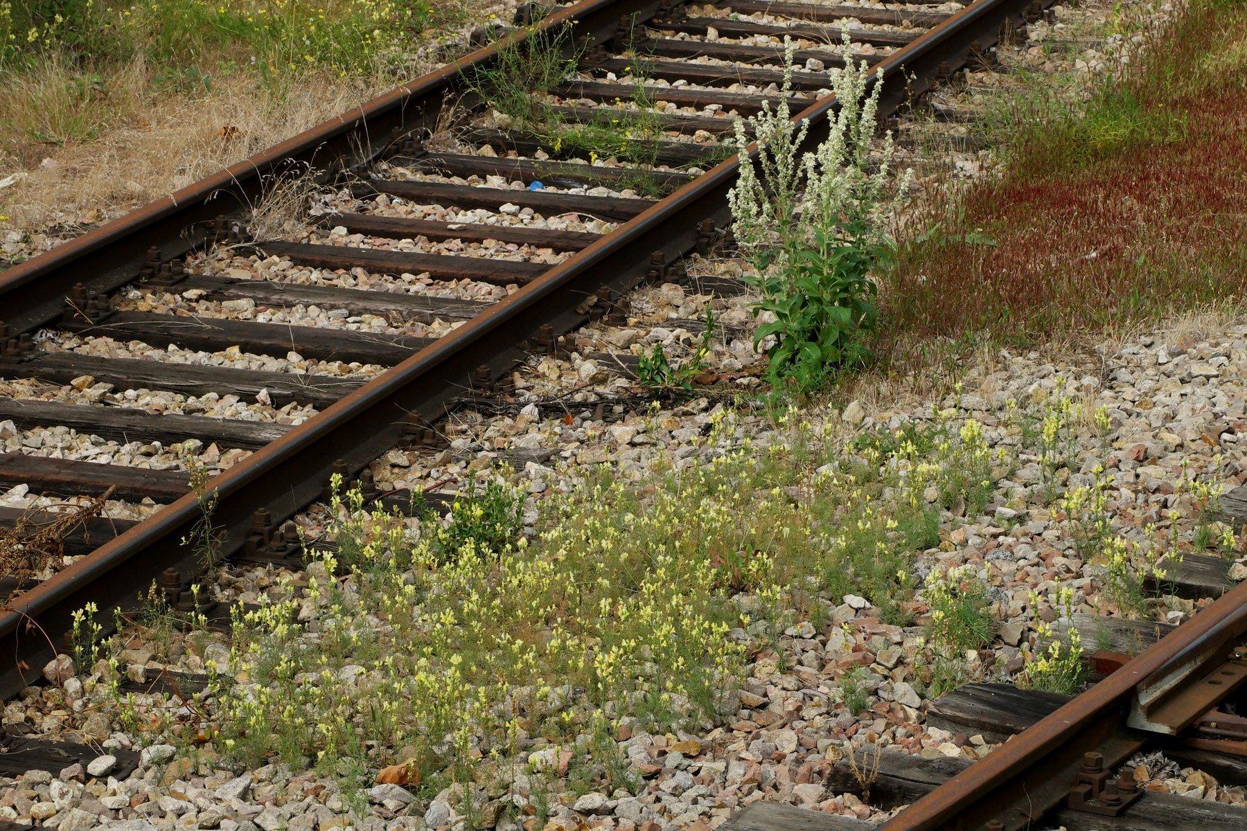 Leinkraut auf Bahnanlage