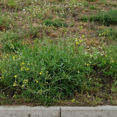 Diplotaxis tenuifolia am Wegrand