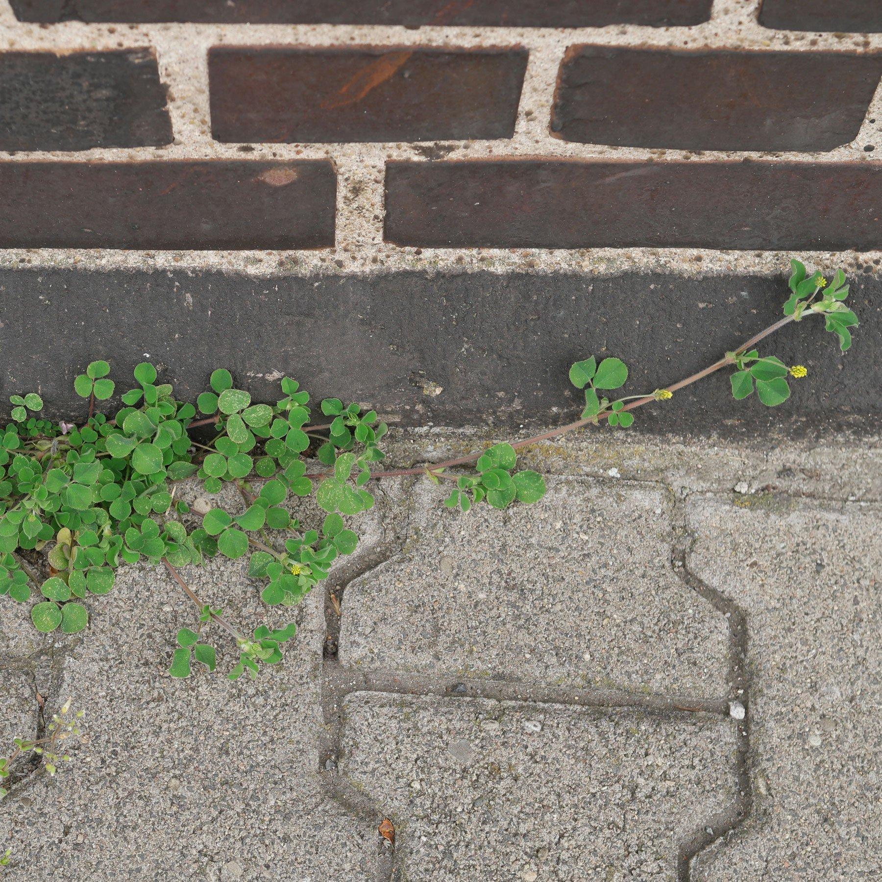 Hopfenklee vor Mauer