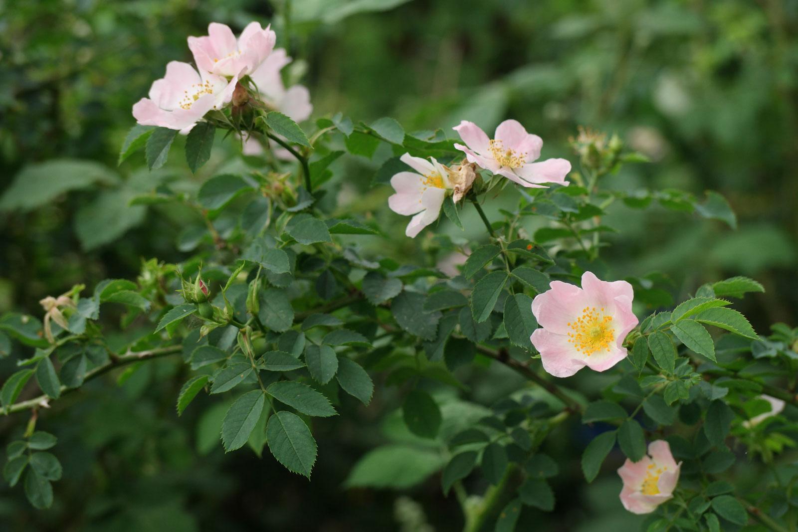 Hunds-Rose Rosa canina