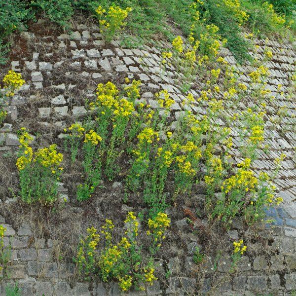 Johanniskraut auf Mauer