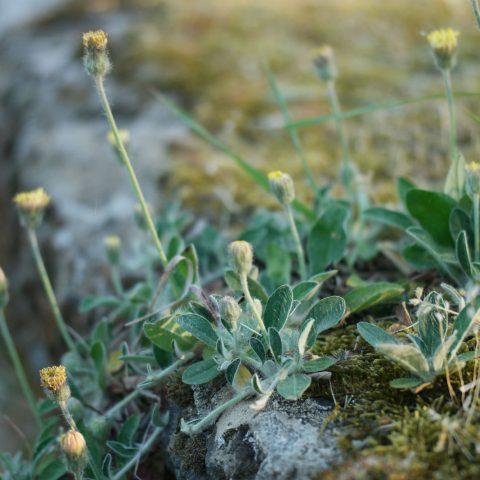 Kleines Habichtskraut Hieracium pilosella
