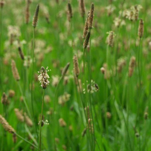 Spitzwegerich Plantago lanceolata