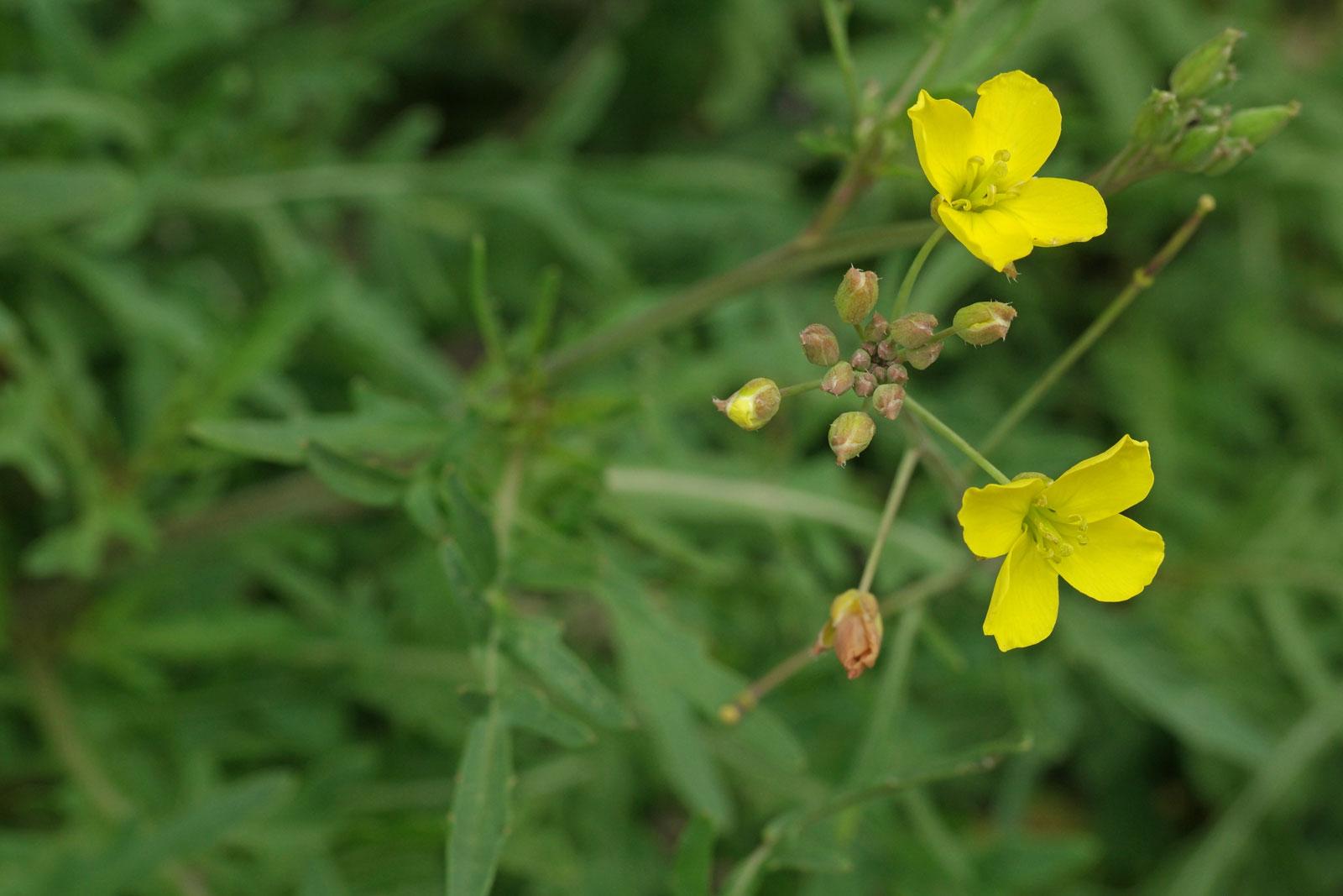 Wilde Rauke Diplotaxis tenuifolia