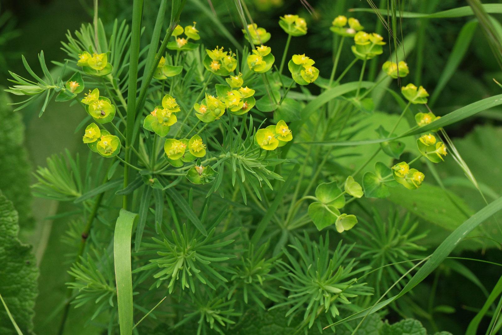 Zypressen-Wolfsmilch Euphorbia cyparissias