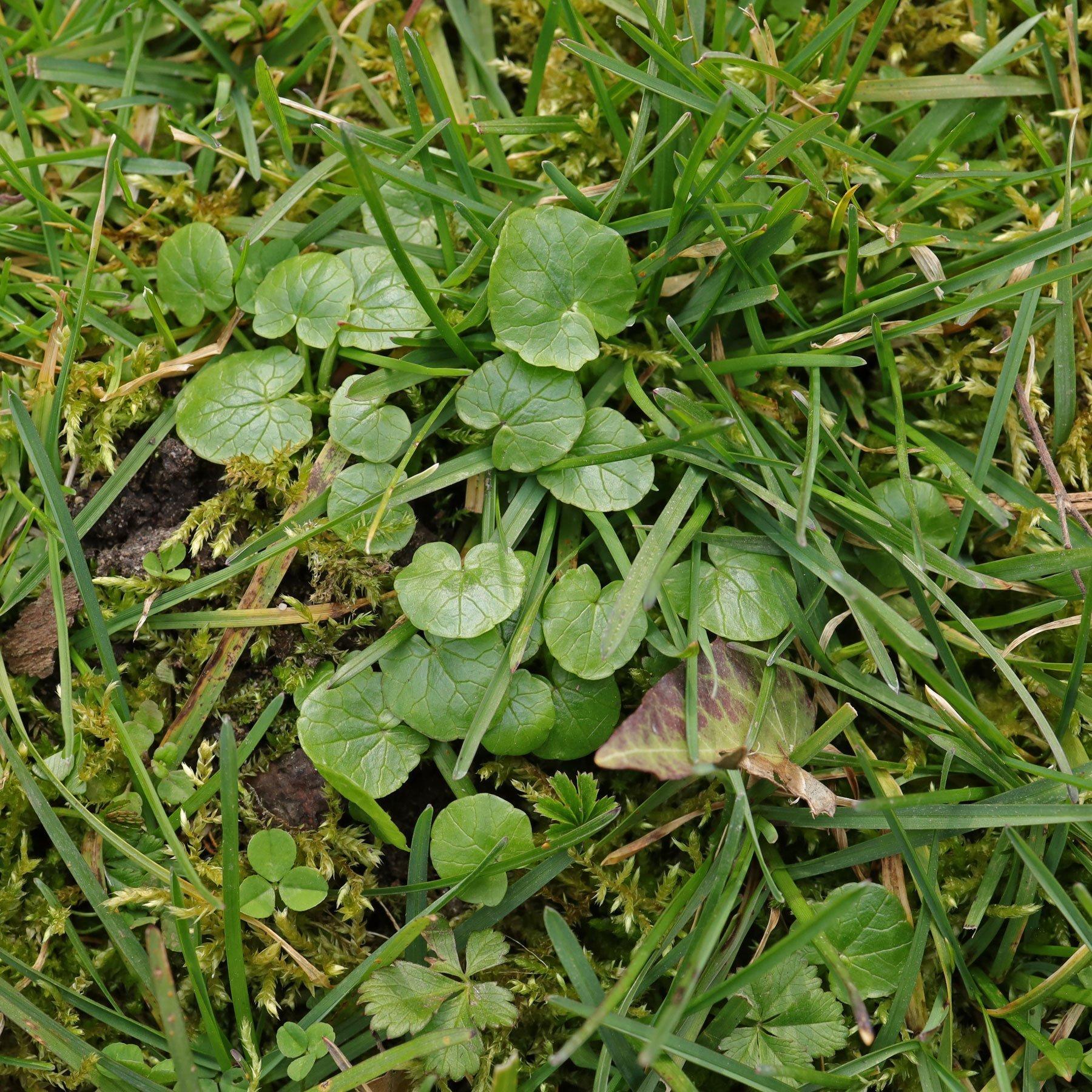Scharbockskraut im Rasen
