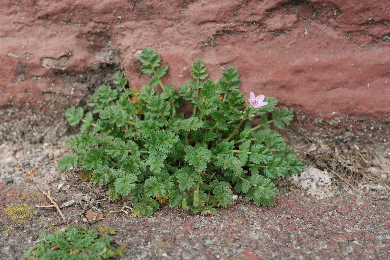 1 Erodium cicutarium 2