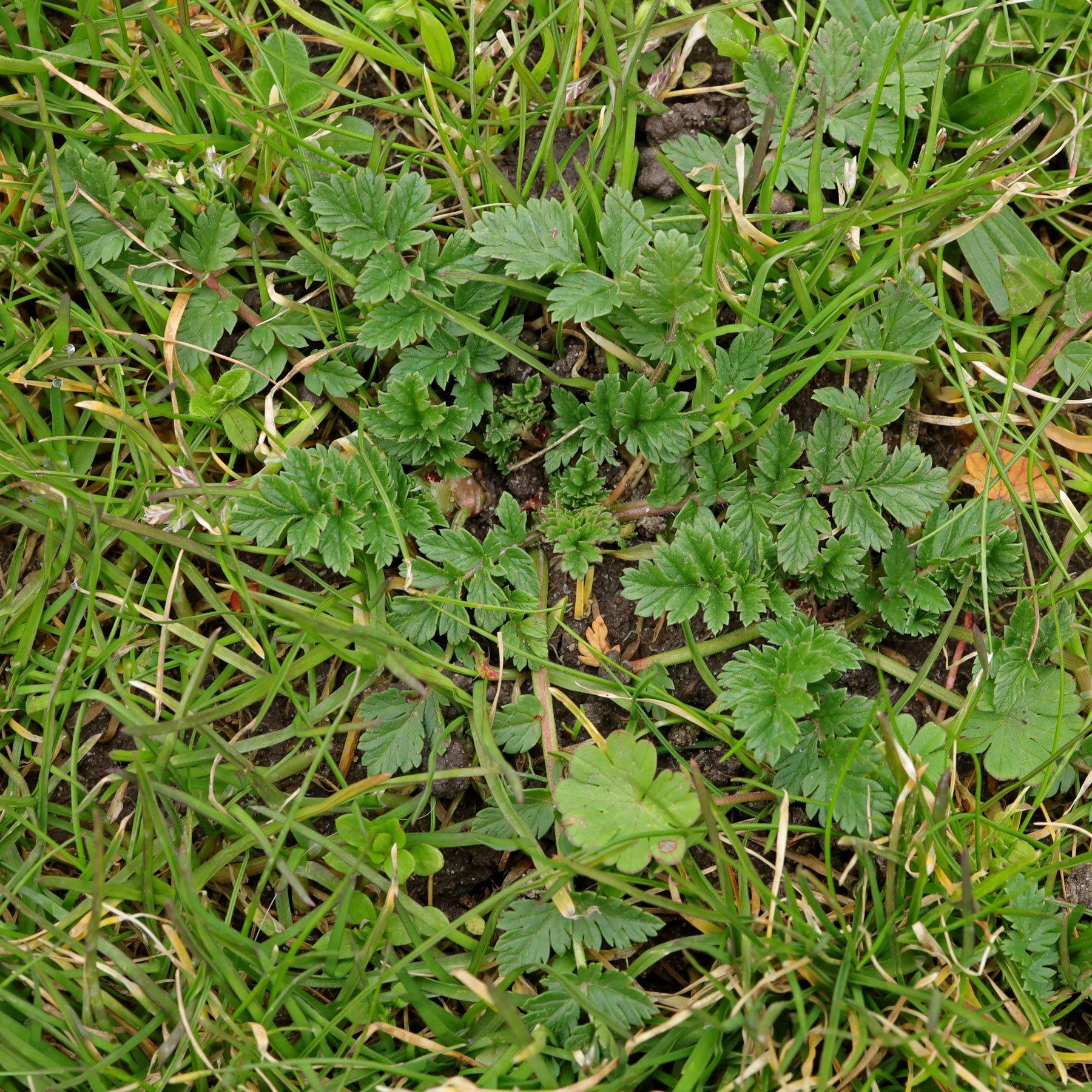 Reiherschnabel im Rasen