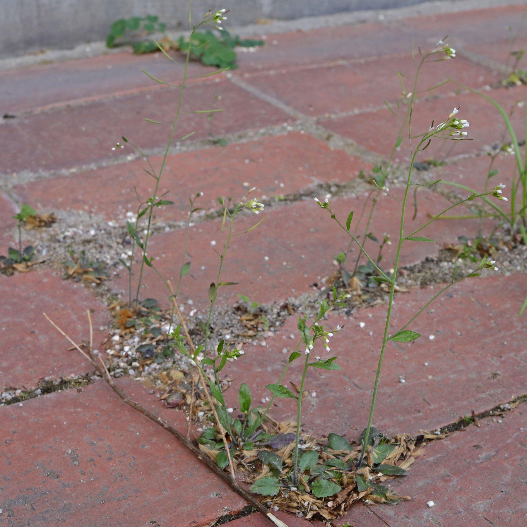 Arabidopsis thaliana Acker Schmalwand