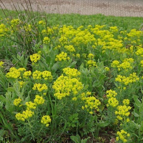 Euphorbia cyparissias Zypressen Wolfsmilch 1