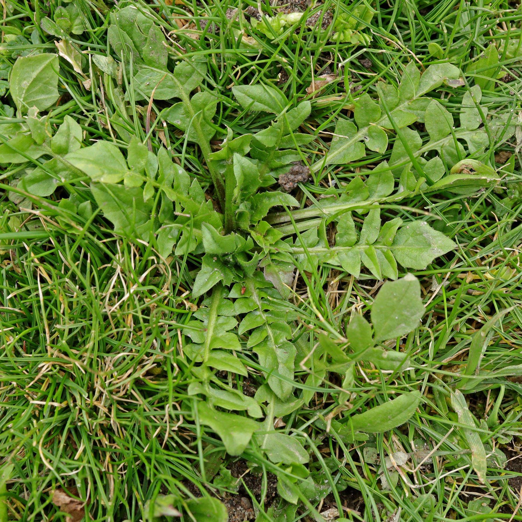 Hirtentaeschel im Rasen