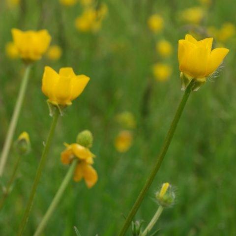Ranunculus bulbosus Knolliger Hahnenfuss