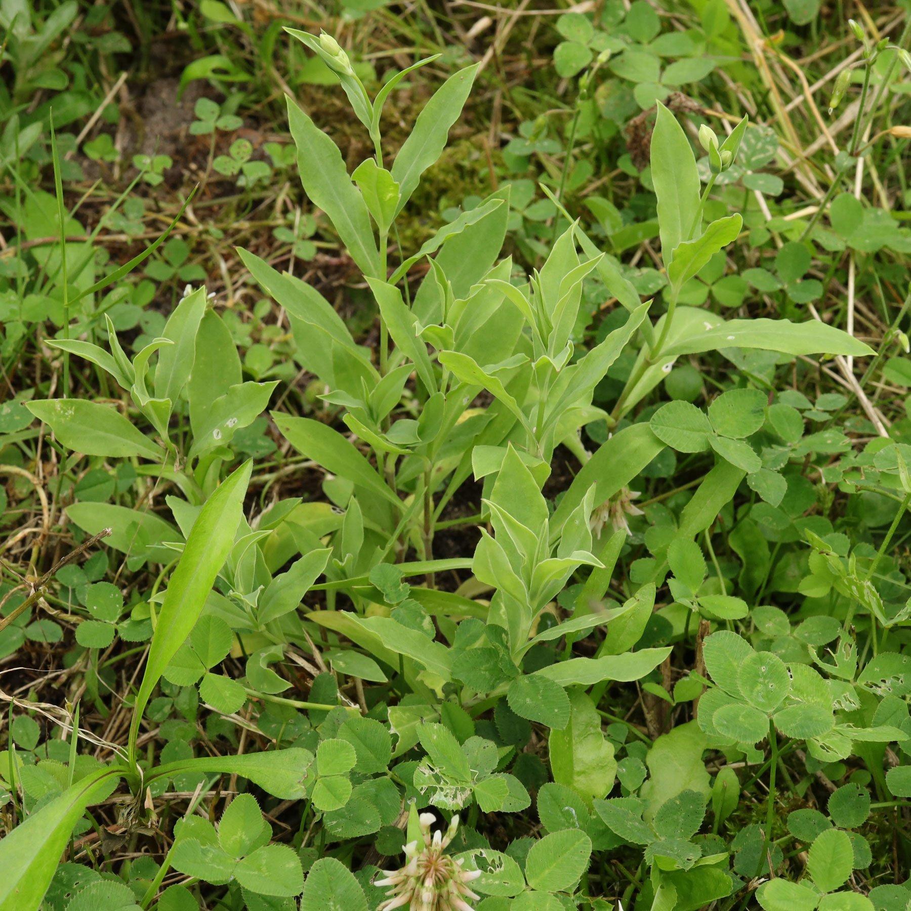 Taubenkropf Leimkraut im Garten